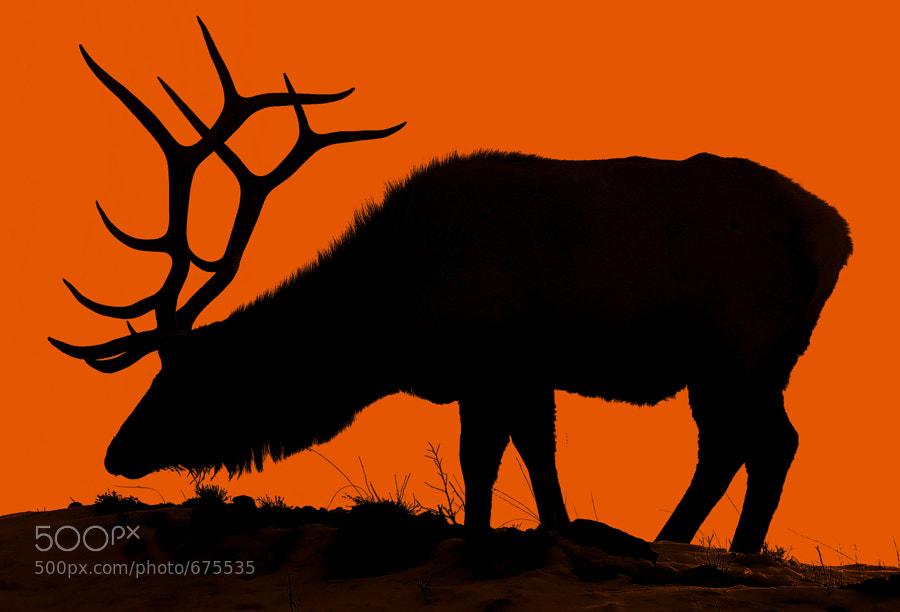 Elk at Twilight by Jeff Clow (jeffclow) on 500px.com
