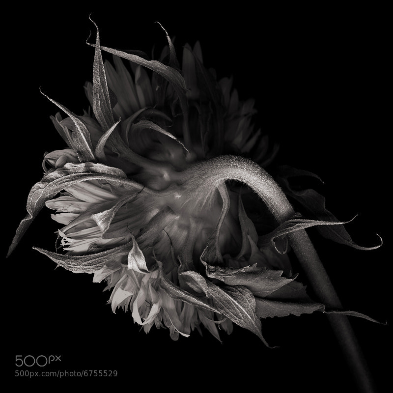 Photograph DOUBLE SUNFLOWER in Black and White... by Magda Indigo on 500px