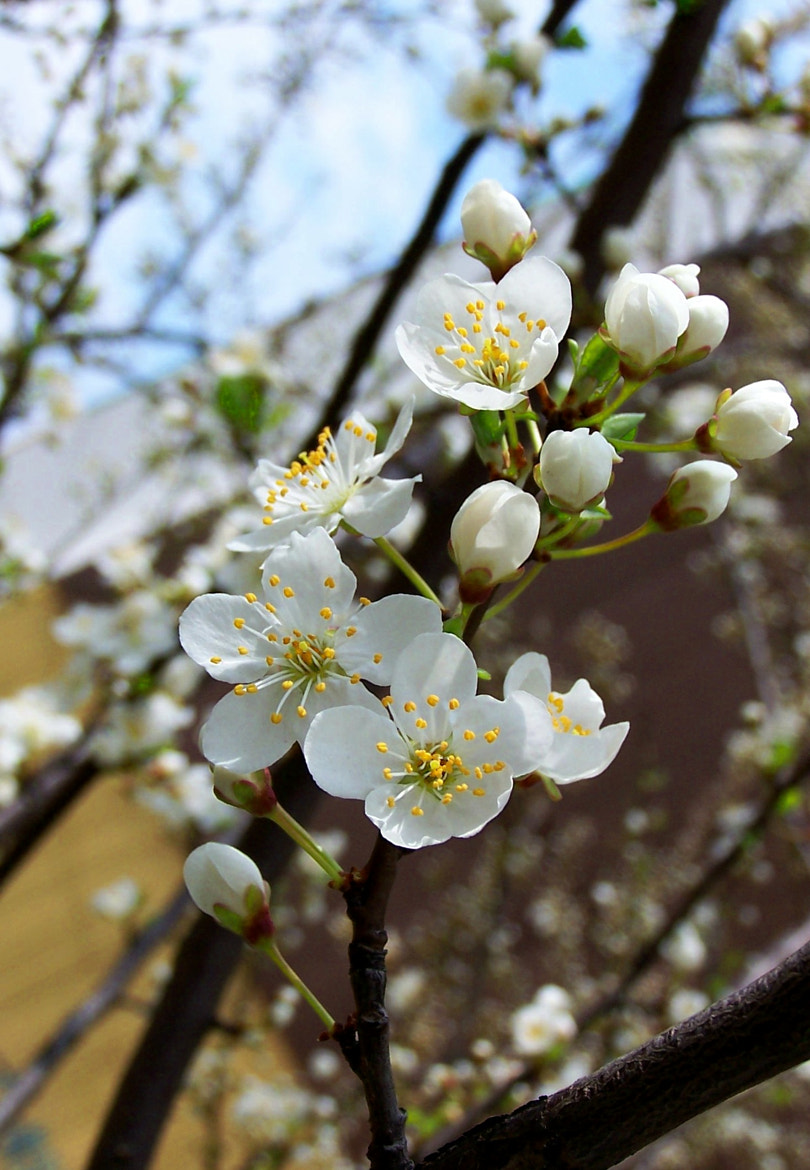 Photograph white spring blossom by lucky hidden Dragon on 500px