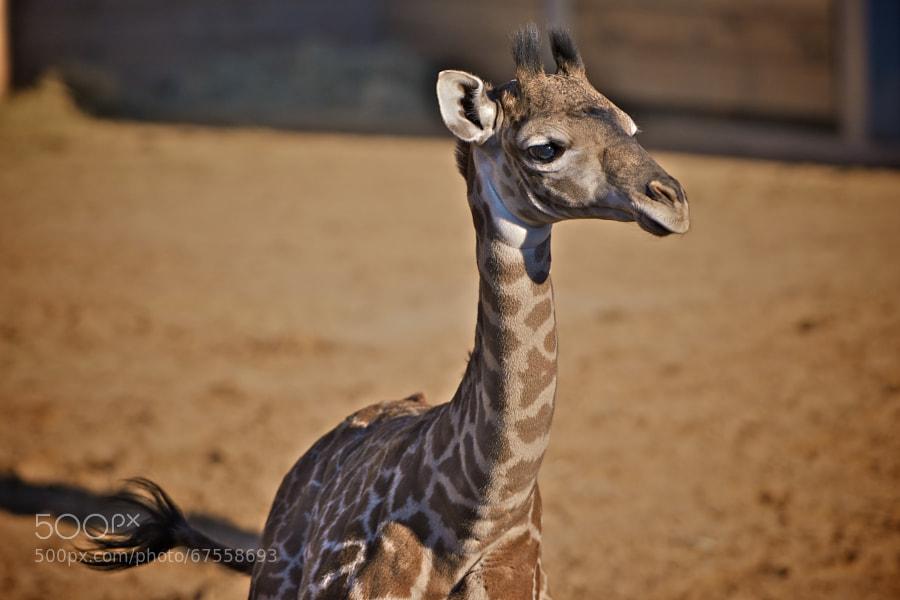 Photograph Baby Giraffe by Asish Soudhamma on 500px