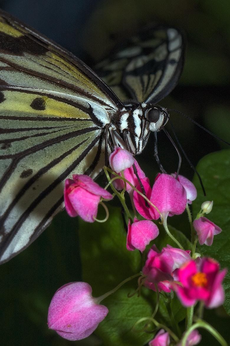 Photograph butterfly by Marcellinus Amin on 500px