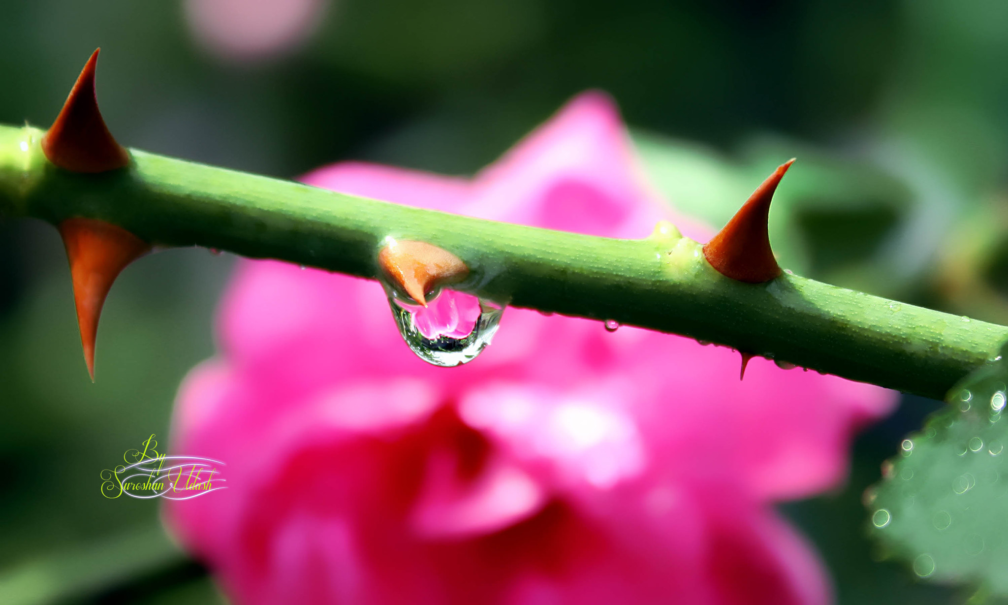 Photograph Thorns, WaterDrops & Rose  by Suroshan Udash on 500px