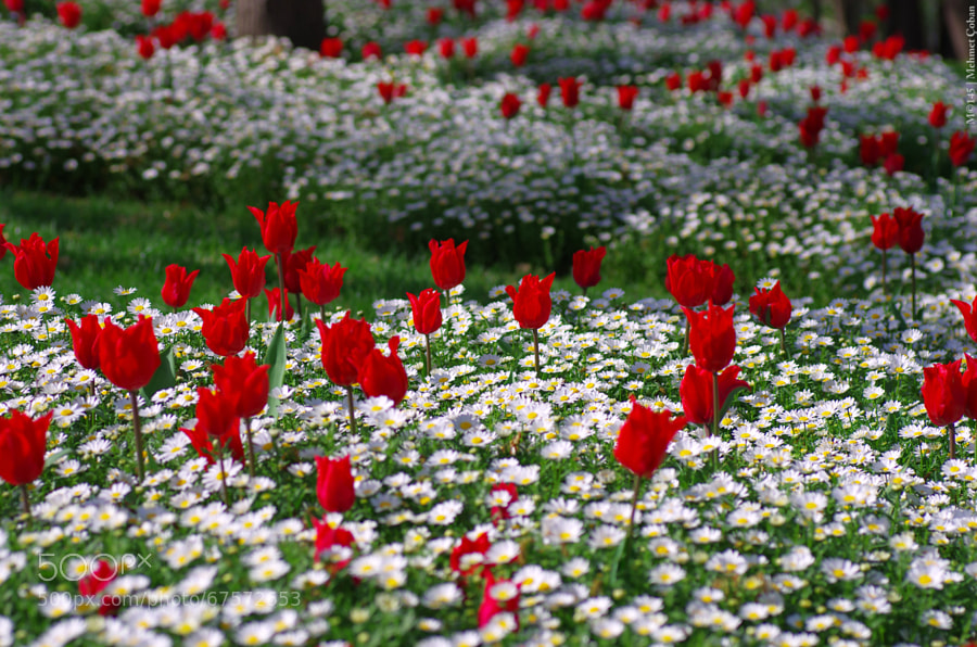 Photograph Red and White Flowers by Mehmet Çoban on 500px