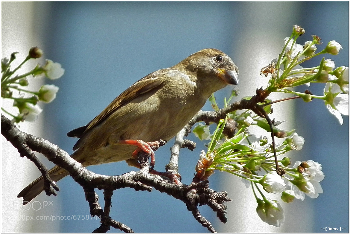 Photograph House Sparrow by Joms Marfil on 500px