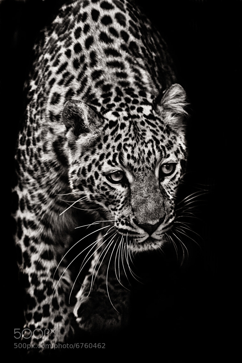 Photograph Approaching Leopard by Nathan Schepker on 500px