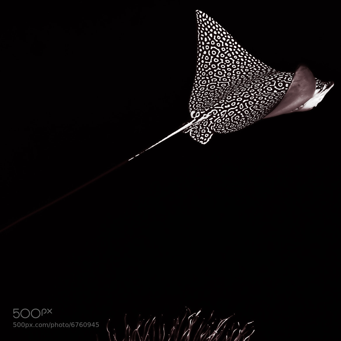Photograph Eagle Ray 2 with Sea Grass by John Harrison on 500px