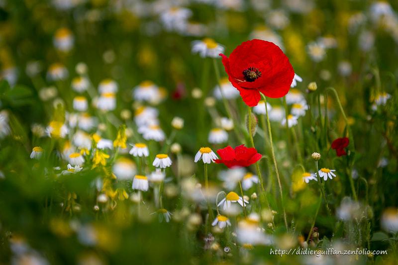 Poppies de Didier Guiffan sur500px.com