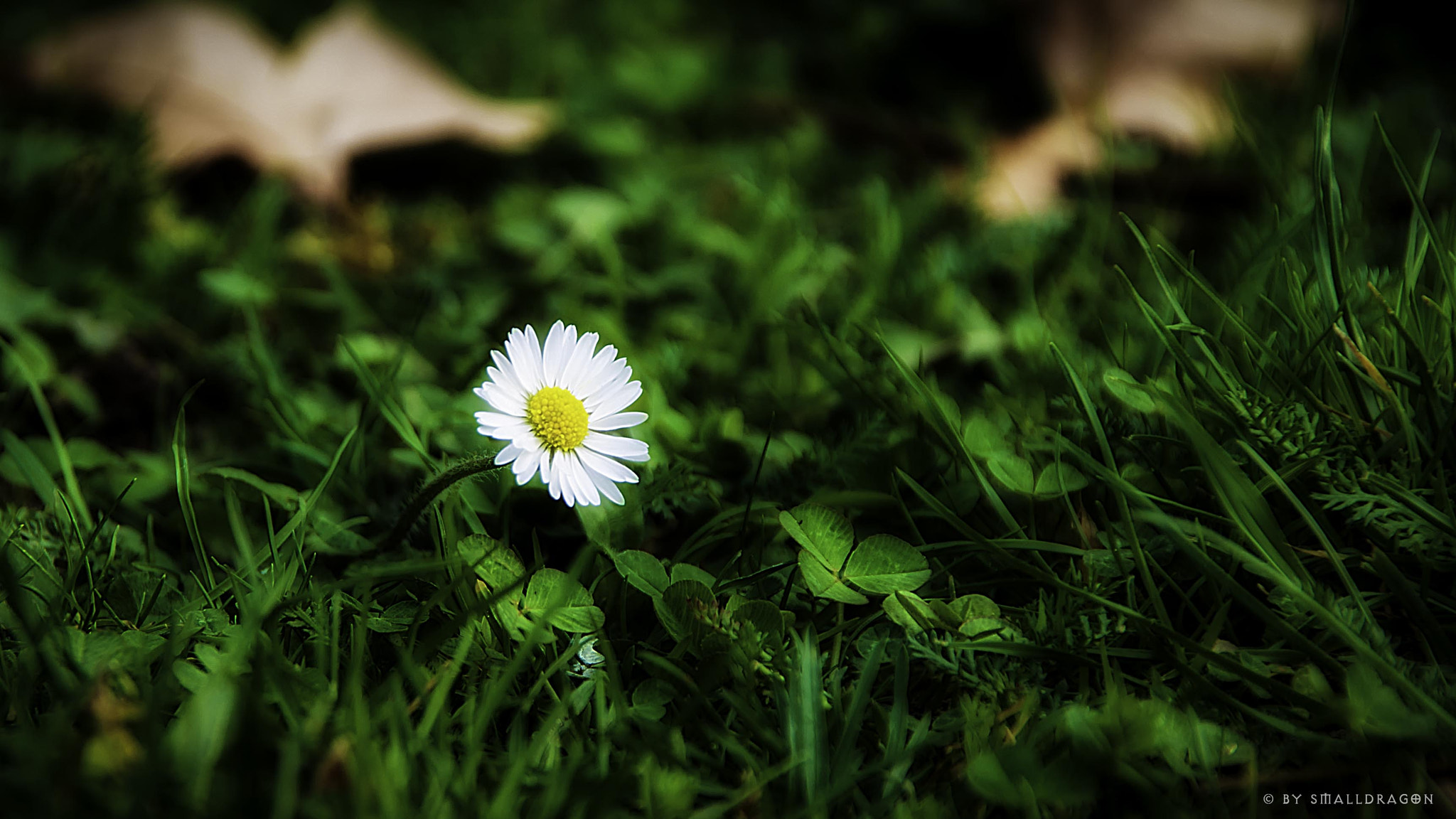 Photograph Lonesome Daisy by Sven Reitis on 500px