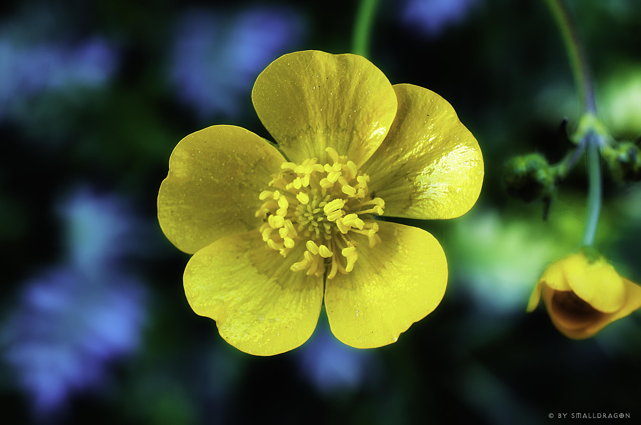 Photograph Buttercup by Sven Reitis on 500px