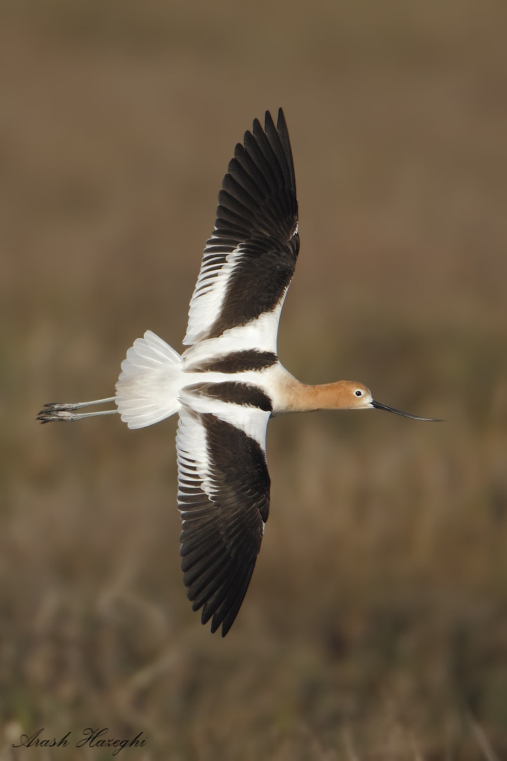 Photograph American Avocet by Ari Hazeghi on 500px