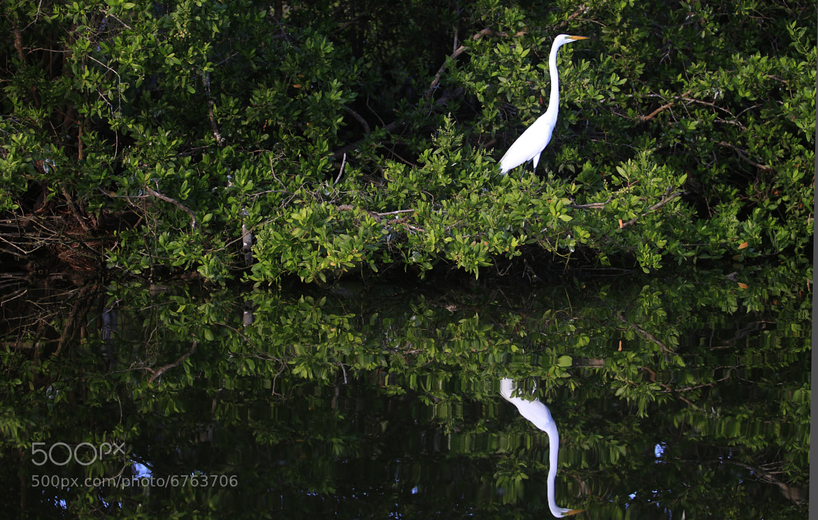 Photograph mate heron in reflection by Cristobal Garciaferro Rubio on 500px