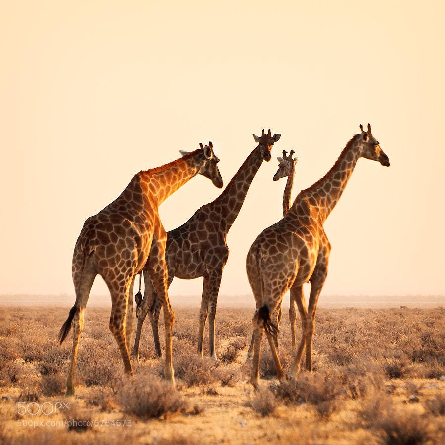Photograph Namibia – Giraffes by Fabrizio Fenoglio on 500px