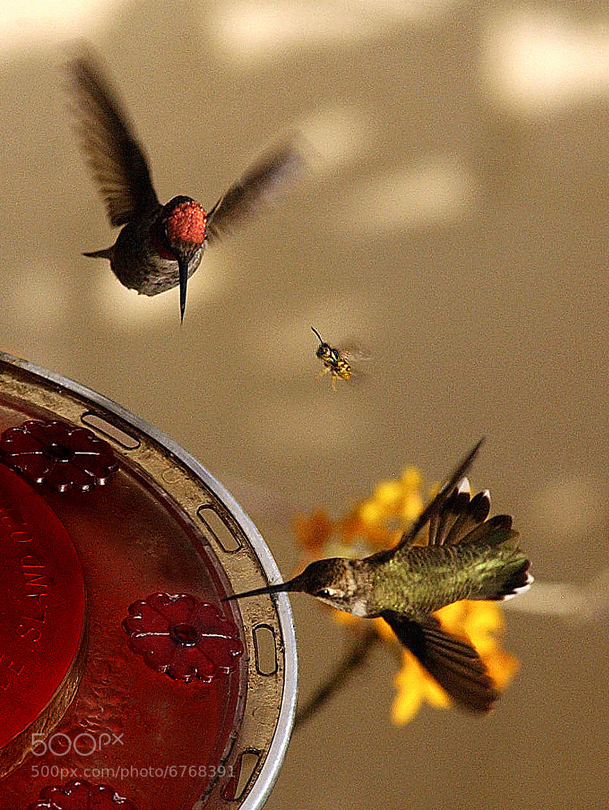 Photograph 2 Hummingbirds and a Bee by Chuck Kirman on 500px