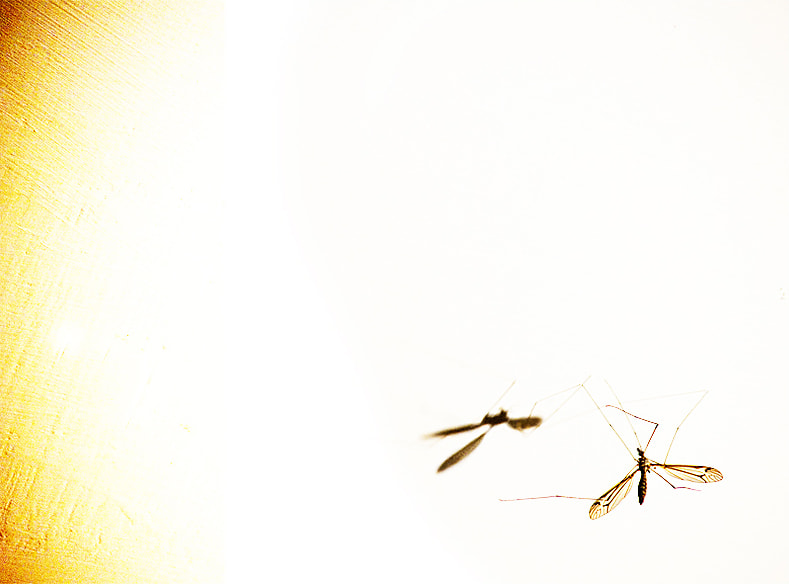 Photograph Mosquito by Ada Panich on 500px