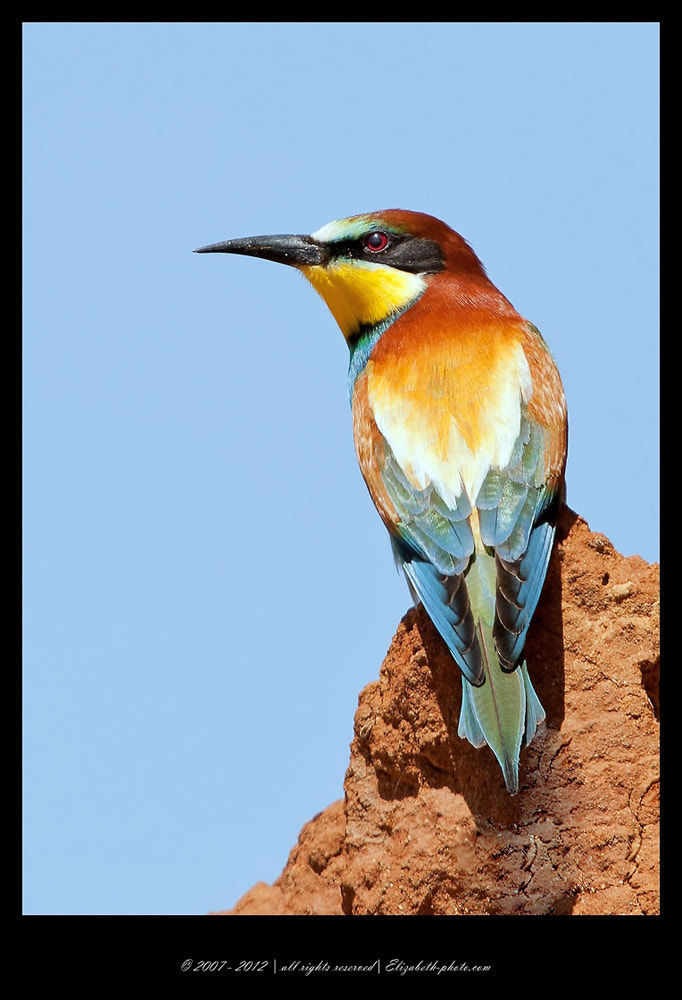Photograph Bee - Eater  by Elizabeth  E. on 500px