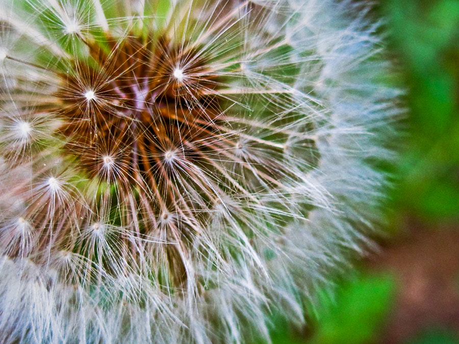 Photograph Dandy Lion by Jack Booth on 500px