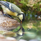 Постер, плакат: Great tit drinking