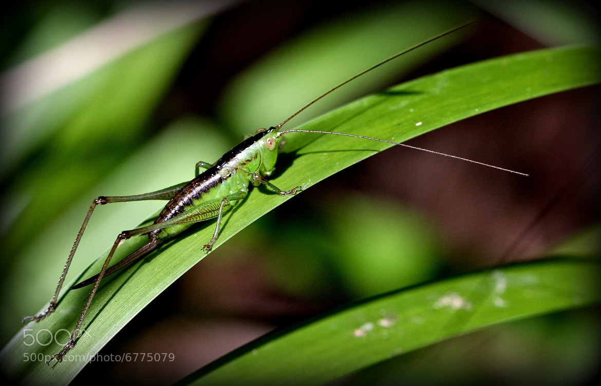 Photograph Grasshopper Hopper by Harsh Brown on 500px