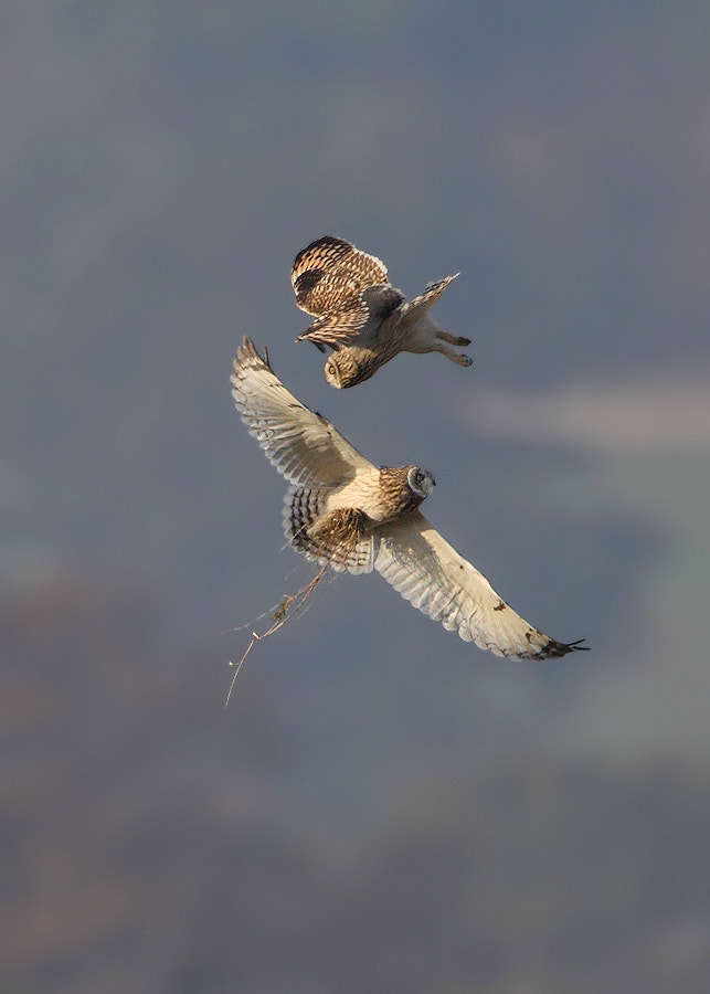Photograph Short Eared Owls by Karen Summers on 500px