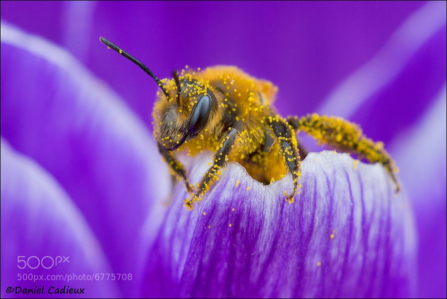 Pollen Covered Bee On Crocus Petal