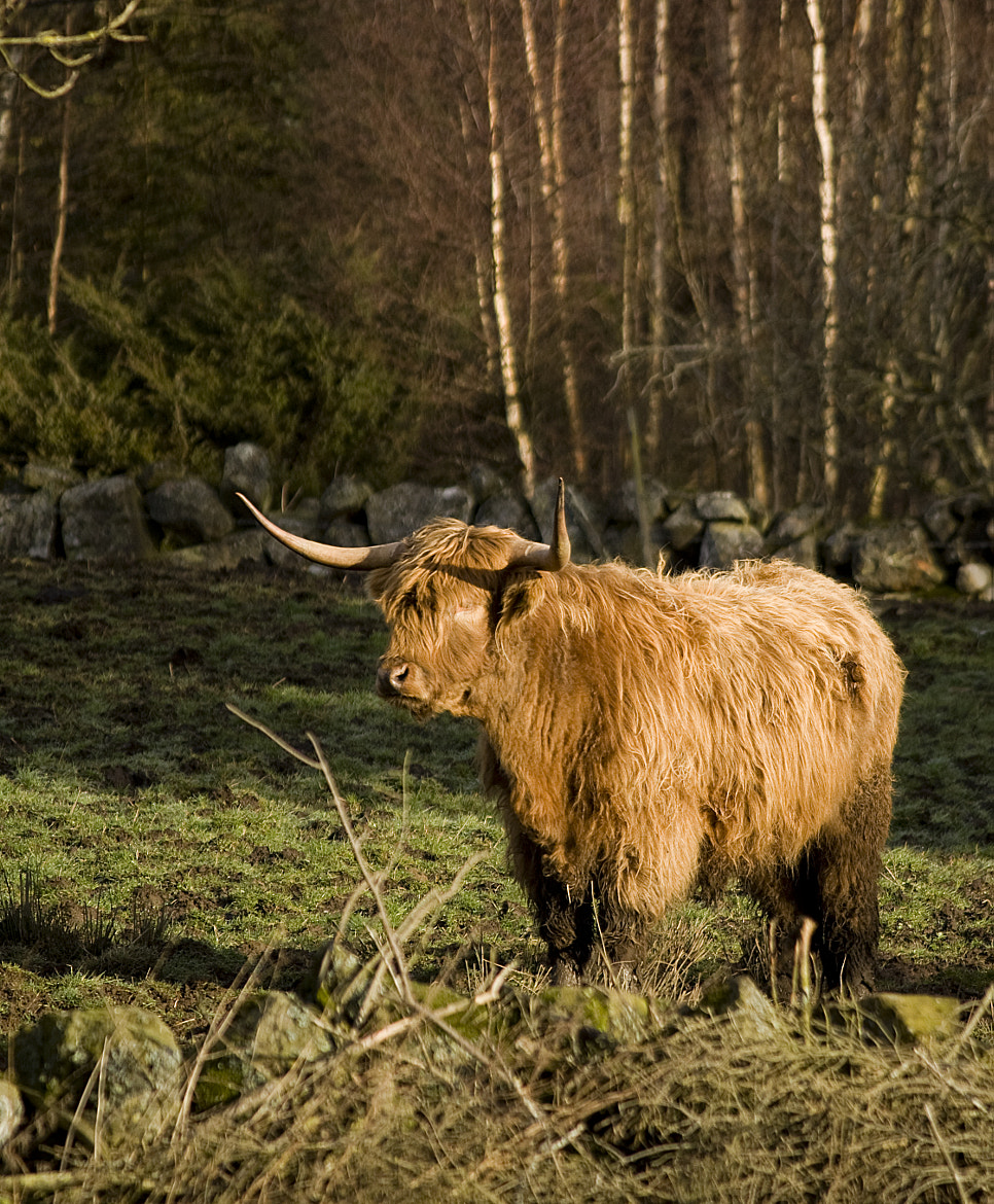 Photograph Highland Cow by Andy Stuart on 500px