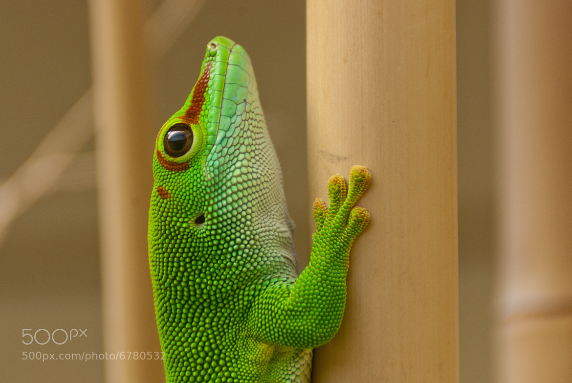 Photograph Madagascar Giant Day Gecko by Jean Lo on 500px