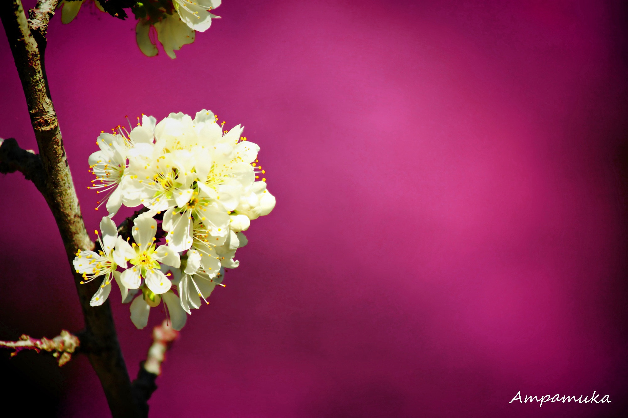Photograph Thai Sakura by Suradej Chuephanich on 500px