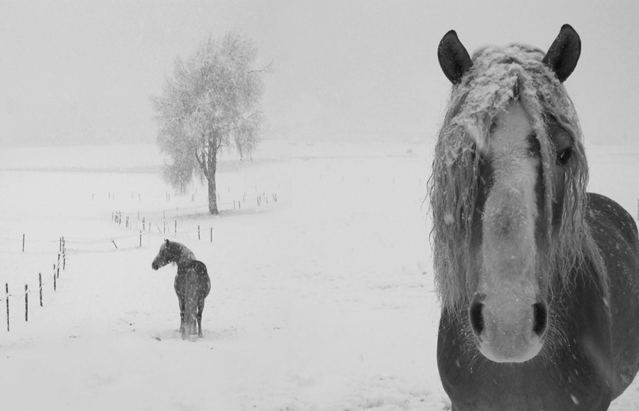 Photograph Horses in the snow by Pierluigi Orler on 500px