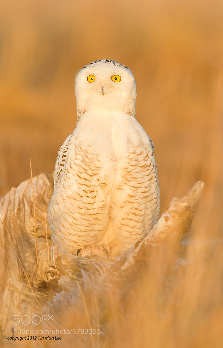 Photograph Golden Snowy Owl by Tin Man on 500px
