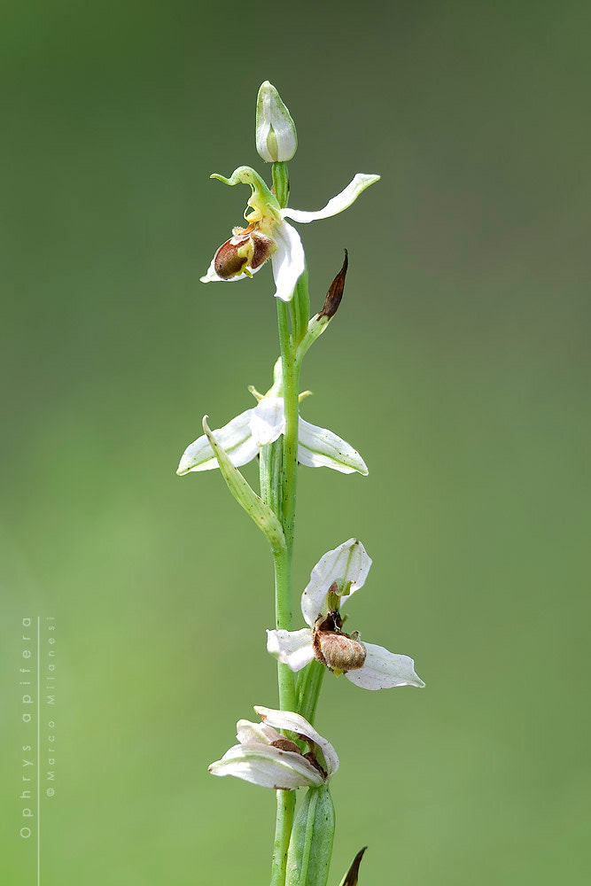 Photograph Ophrys apifera by Marco Milanesi on 500px