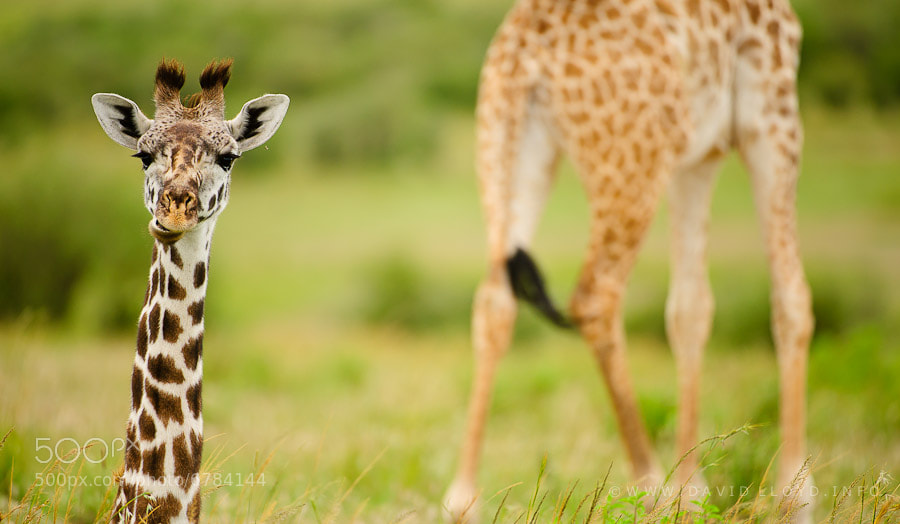 Photograph A Giraffe Pair by David Lloyd on 500px