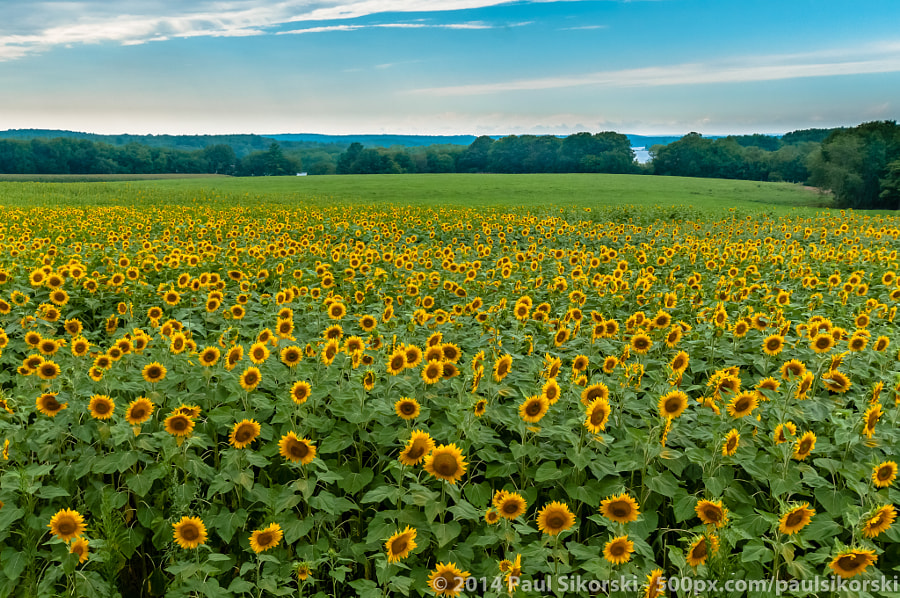 Sunflower Field by Paul Sikorski on 500px.com
