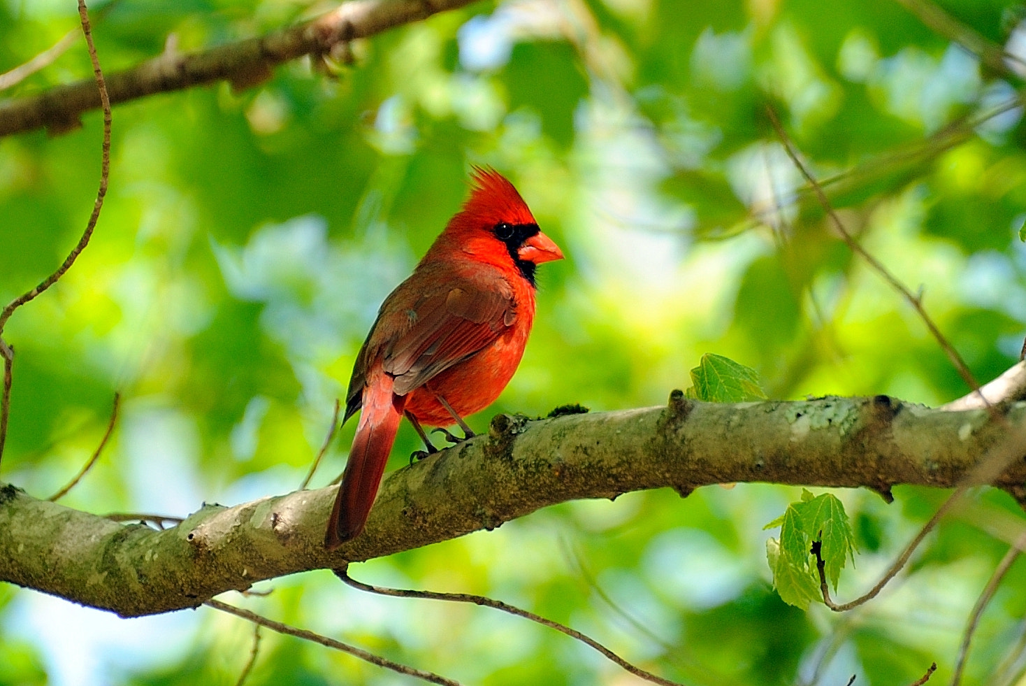 Photograph Male Northern Cardinal by Merlin Francis on 500px