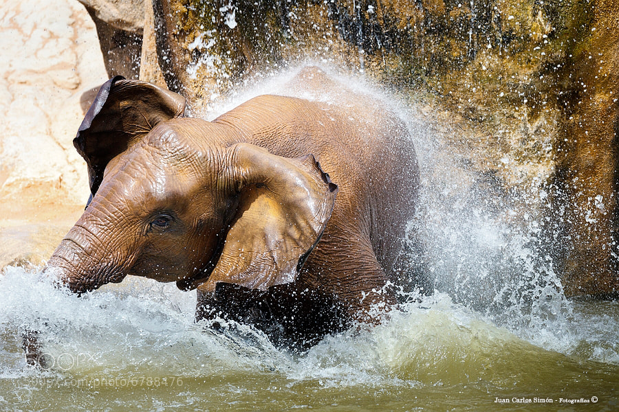 Photograph El Baño del pequeño elefante (The little elephant Bath) by Juan Carlos Simón on 500px