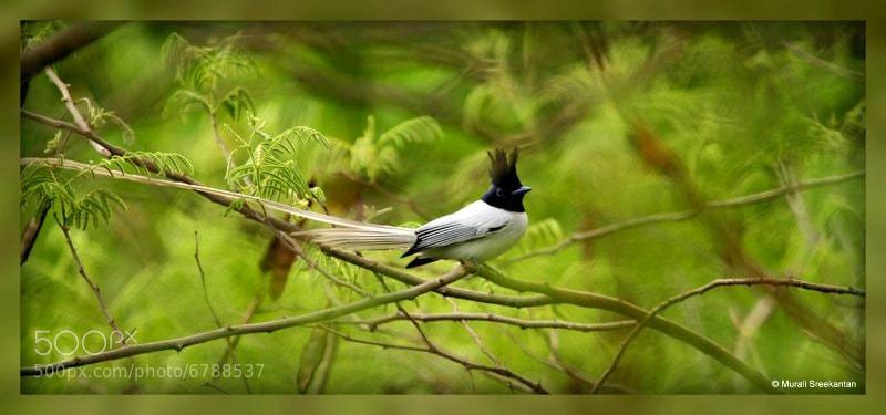 Photograph Asian Paradise Flycatcher by Murali Sreekantan on 500px