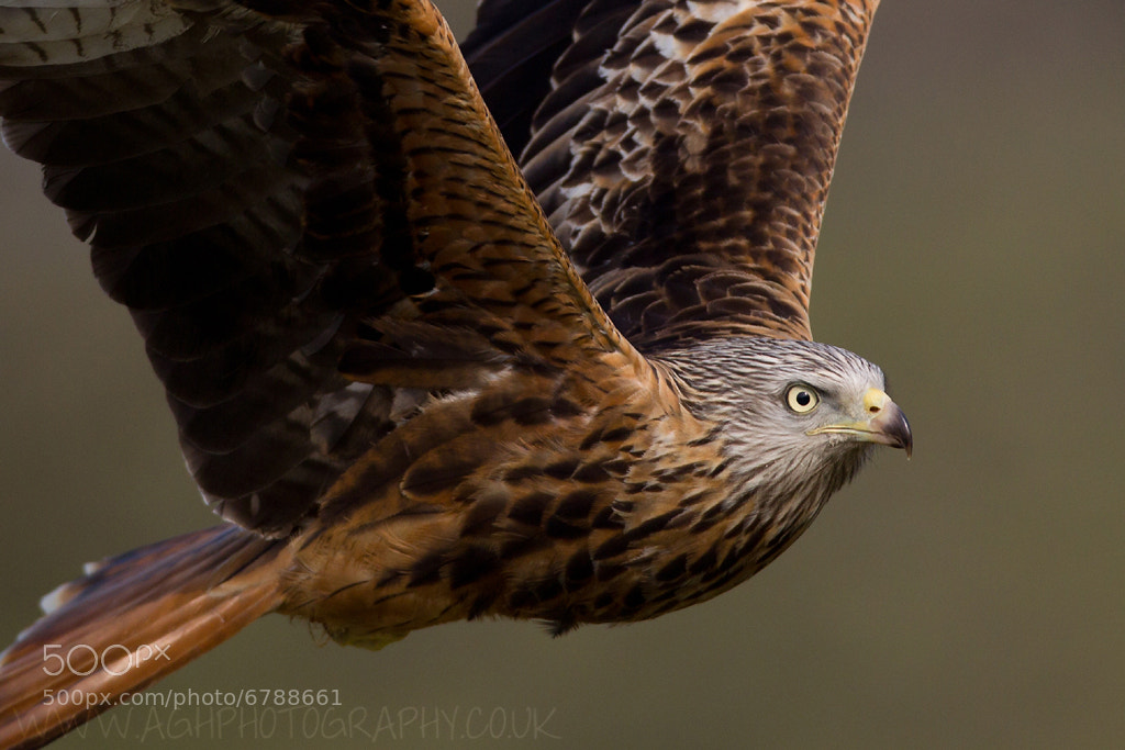 Photograph Red Kite by Tony House on 500px