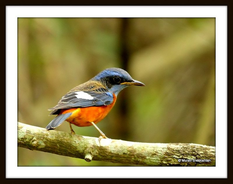 Photograph Blue capped Rock Thrush by Murali Sreekantan on 500px