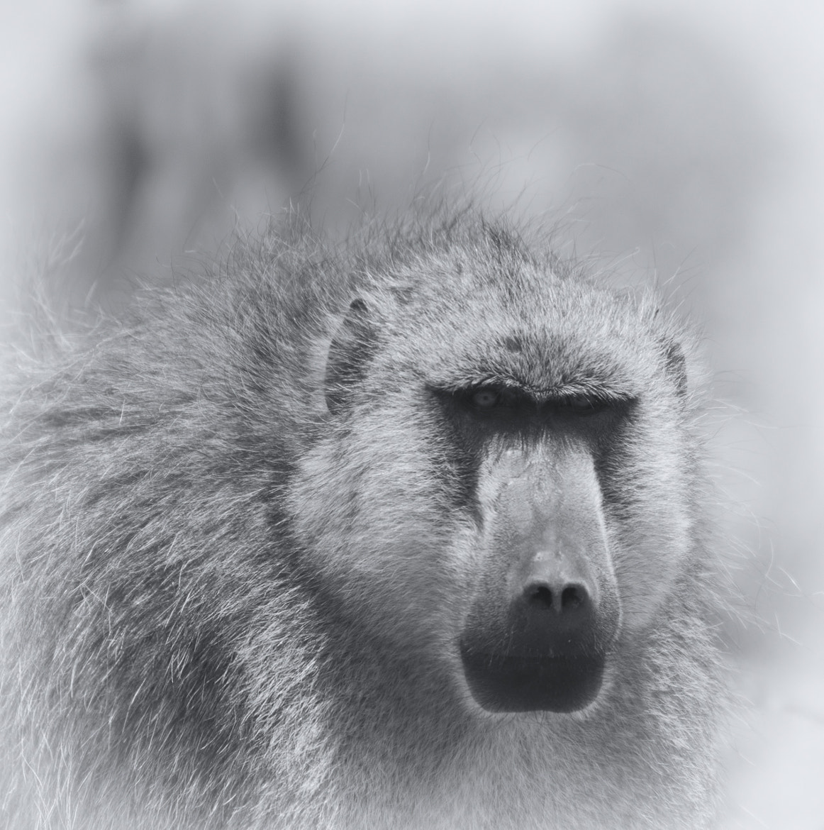 Photograph The look of the baboon by Lorenzo Lambertucci on 500px