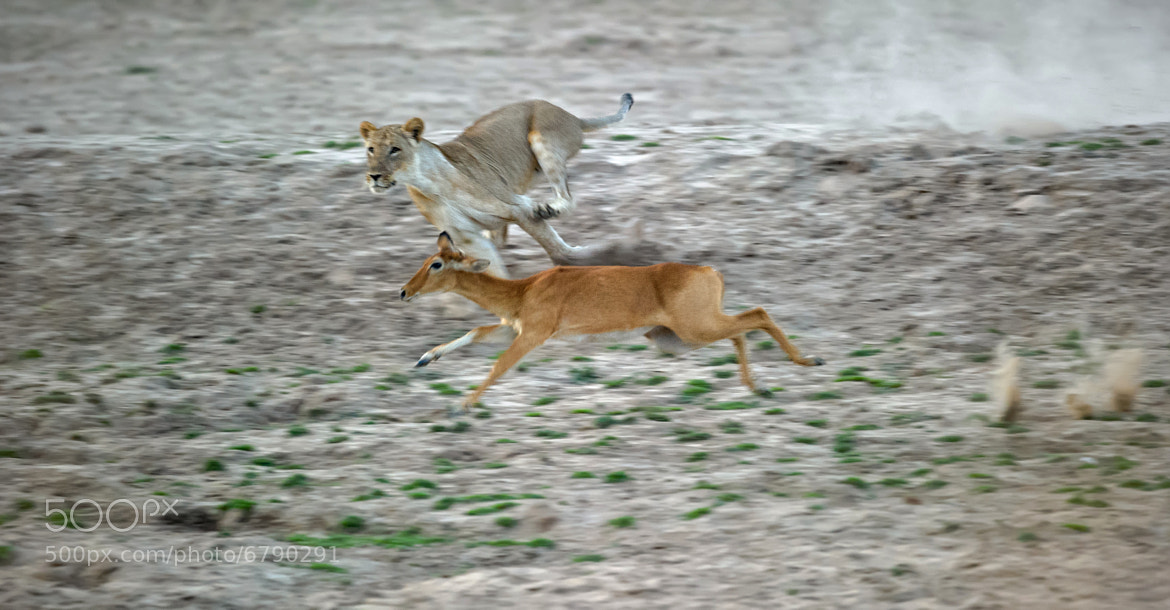 Photograph Lion in pursuit of Puku by Marc MOL on 500px