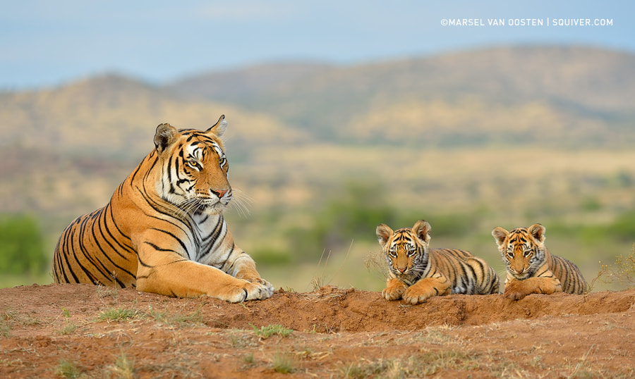 500px.comのMarsel van OostenさんによるTiger Family