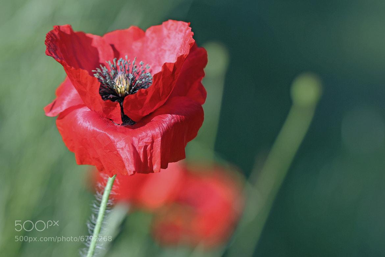 Photograph Poppy by Jane Sleeth on 500px
