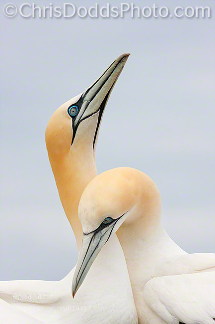 Photograph Northern Gannets SPOONING by Christopher Dodds on 500px