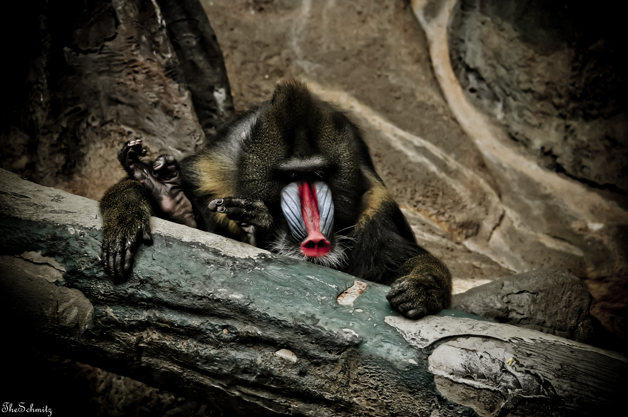 Photograph Mandrill by The Schmitz on 500px