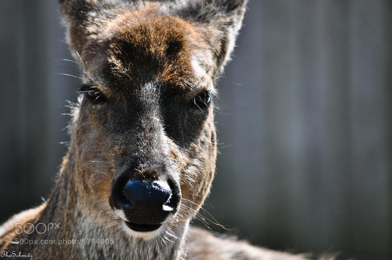 Photograph Deer by The Schmitz on 500px