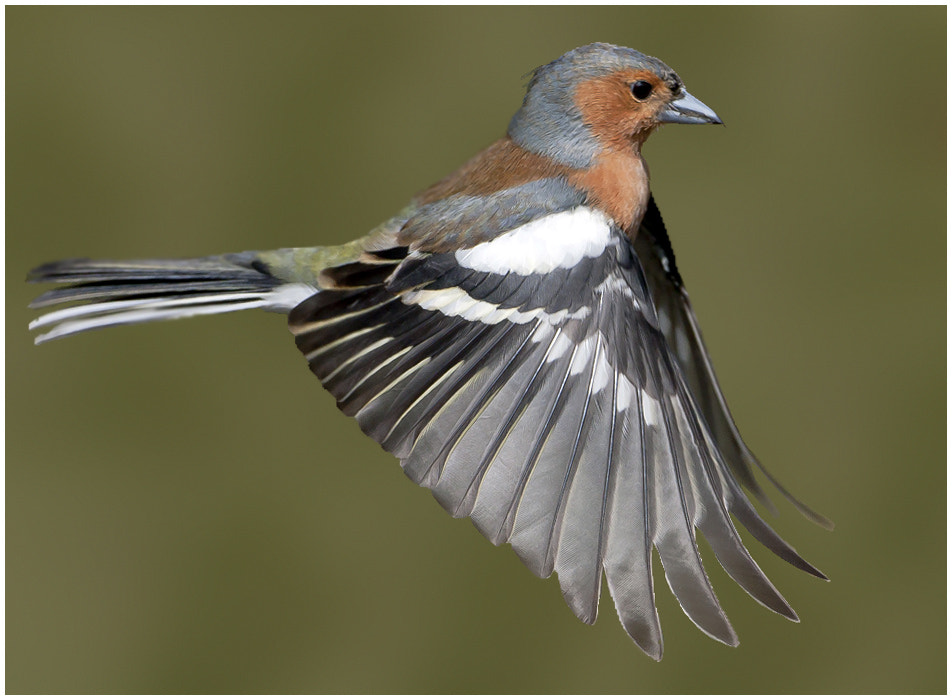 Photograph chaffinch by TomMelton on 500px