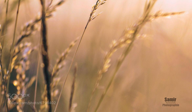 Photograph Sunset and wheat by Samir Bensalah  on 500px