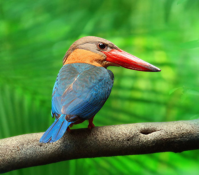 Photograph King fisher by mhucool wattana on 500px