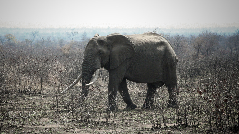 Photograph Big Bull by Ty Van Rensburg on 500px