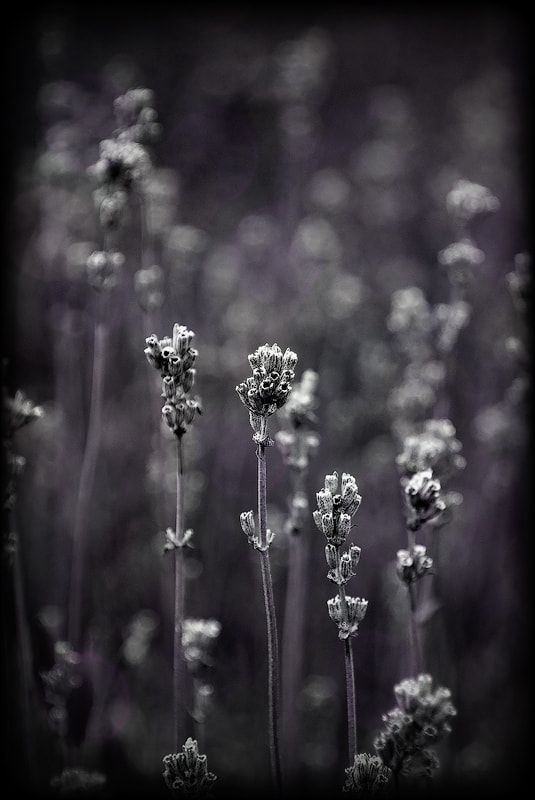Photograph Last Lavender I by Delia Galhotra on 500px