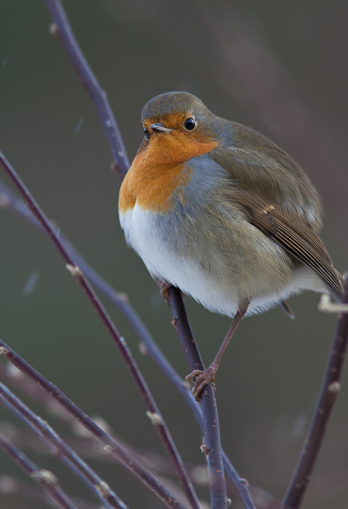 Photograph Ice-cold Robin by Geir  Jensen on 500px